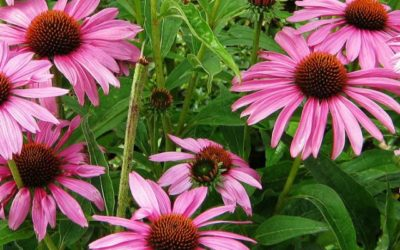 ECHINACEA: Immunostimolante naturale
